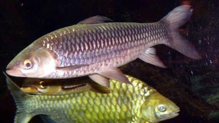 25 Ribu Benih Ikan Jelawat Ditebar di Sungai Pengumbak Desa Petaling Kecamatan Lais Kabupaten Muba