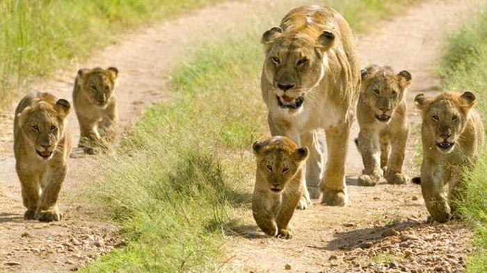 Nairobi Mencekam, Kawanan Singa Kabur dari Taman Nasional dan Masuk Kota