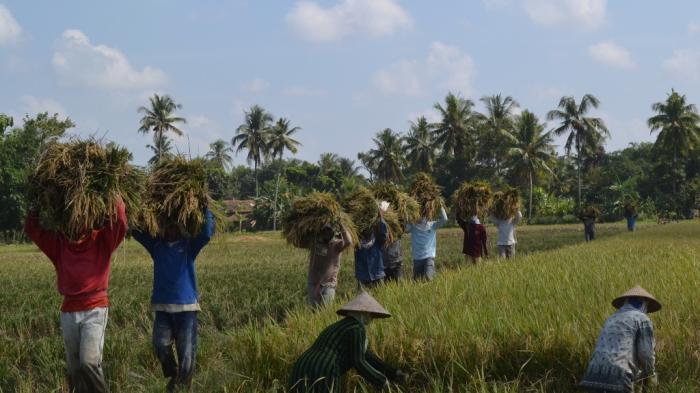 Viral Surat Bupati OKU Timur ke Bulog Saat Isu Impor Beras, Petani Menjerit Harga Jual Turun