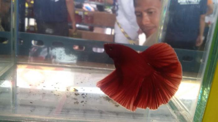 Bisnis Ikan Cupang Menggiurkan, Irvan Novendra Ngaku Sebulan Untung  Rp 30-40 Juta,  Anda Berminat? - iwak-cupang_20160214_202907.jpg