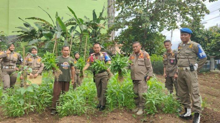 Kasat dan Anggota POL PP Lahat Panen Kangkung Manis