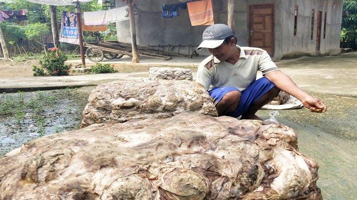 Harga Getah Karet di PALI 28 April, Petani Karet Kencangkan Ikat Pinggang Saat Lebaran Sudah Dekat