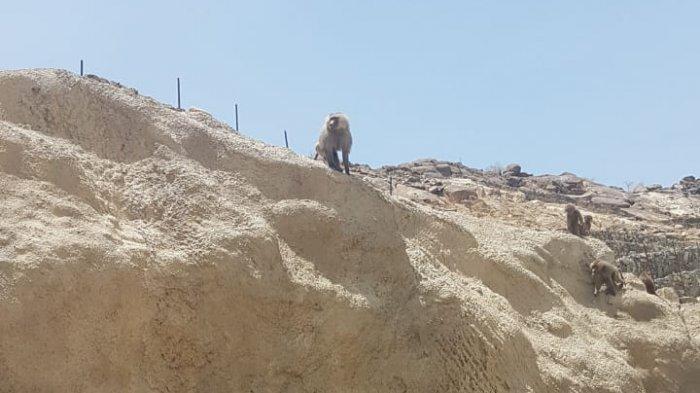 Kawanan Monyet Turun Gunung Cari Makanan di Tenda Mina