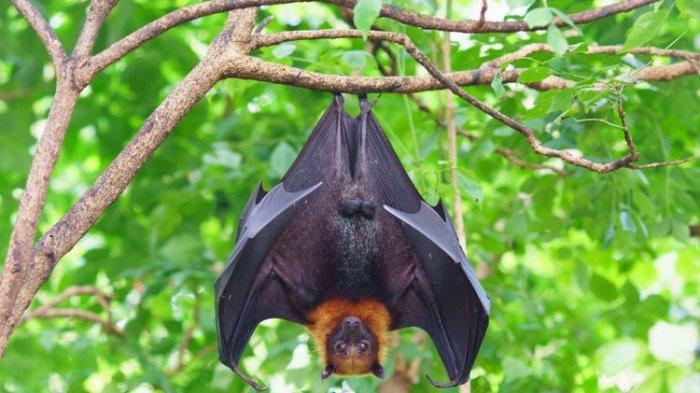 Ilustrasi kelelawar buah. (Dok. Shutterstock)