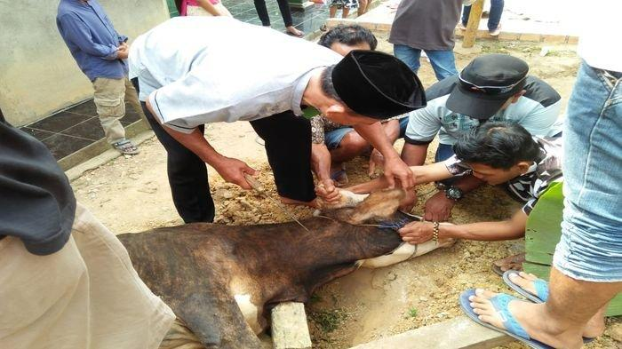 Heri Amalindo Bupati PALI Berkurban Seekor Sapi untuk Warga Talang Puyang Kelurahan Talang Ubi