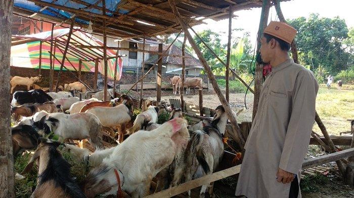 Pedagang Hewan Kurban di PALI Sedang Senang, Penjualan Hewan Kurban Meningkat 100 Persen dari 2019