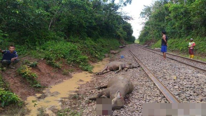 Mayat 8 Ekor Kerbau Bergelimpangan di Rel Kereta Api Kecamatan Peninjauan OKU, Dibuang ke Sungai