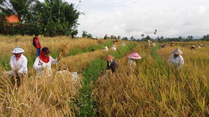 Melihat Tradisi Petani di Lahat, Bermunajat Sebelum Panen Padi