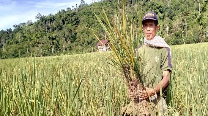 Di Tengah Wabah Corona, Belasan Hektare Tanaman Padi di OKUS tak Bisa Dipanen karena Hama Kuning