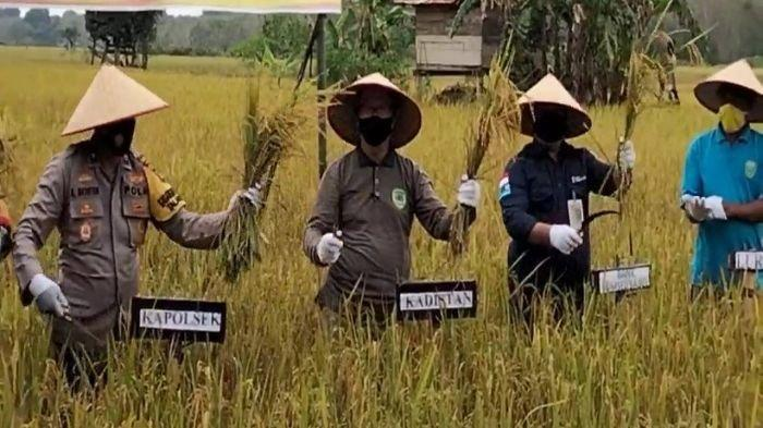 Fokus Jaga Kebutuhan Pangan Saat Pandemi, 45 Hektar Sawah di PALI Dipanen