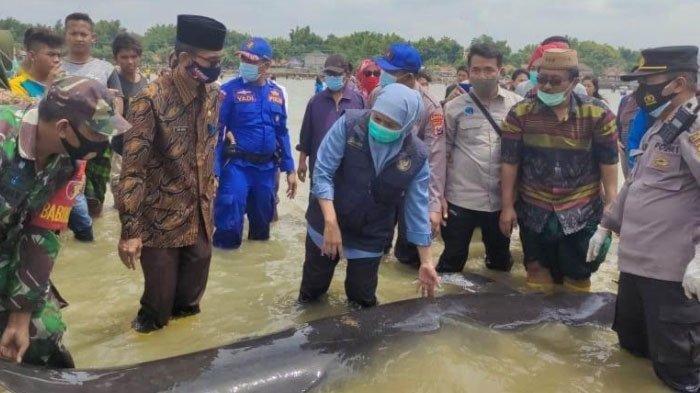 PERISTIWA Langka, 55 Ekor Ikan Paus 'Mendarat' di Pantai: 9 Jam Penyelamatan, Khofifah Lelah