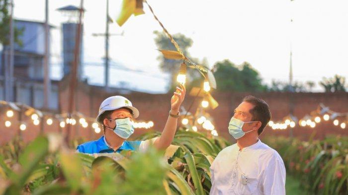 Omzet Petani Buah Naga Naik Hingga 3 Kali Lipat, Berkat Electrifying Agriculture PLN