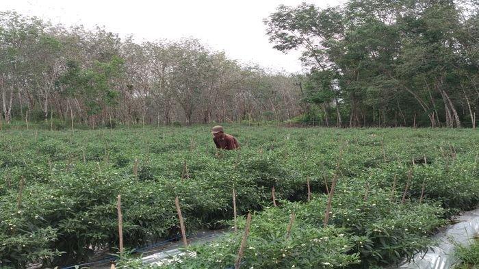Harga Cabai Lagi Meroket, Petani Waspada Aksi Pencurian di Kebun: Gantian Berjaga 24 Jam