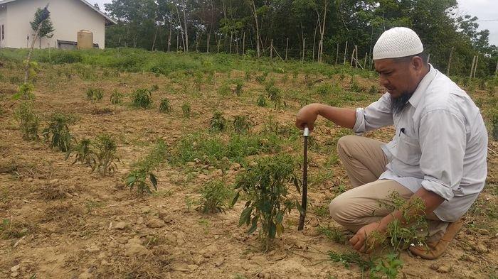 Petani Cabai di Kabupaten PALI Terancam Gagal Panen Akibat Tanaman Cabai Keriting Diserang Hama