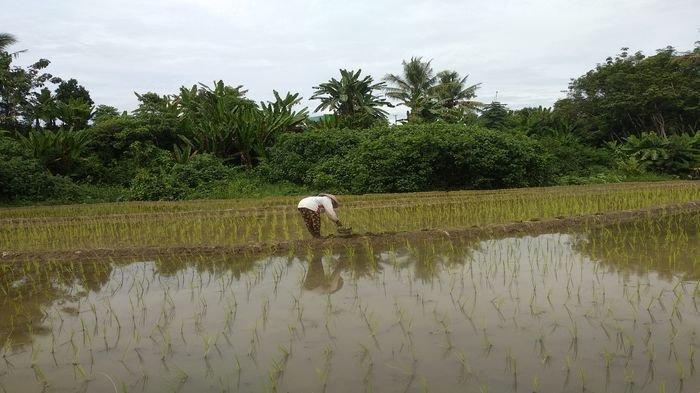 Petani di Tanjung Harapan Kelurahan Moneng Sepati, Kecamatan Lubuklinggau Selatan II Kota Lubuklinggau saat sedang melakukan pembersihan rumput di sawah miliknya.