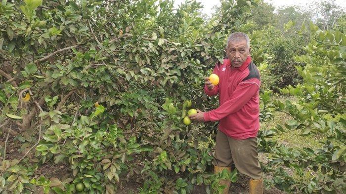 Nasib Petani Jeruk California di Muara Enim, Jeruk Banyak Busuk Karena Pintu Ekspor Ditutup