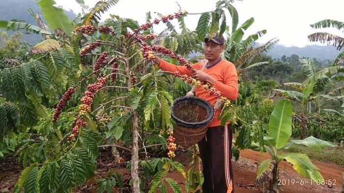 Bangkitkan Semangat Petani Kopi di Sumsel, 135 Hektar Akan jadi Lokasi Pabrik Kopi