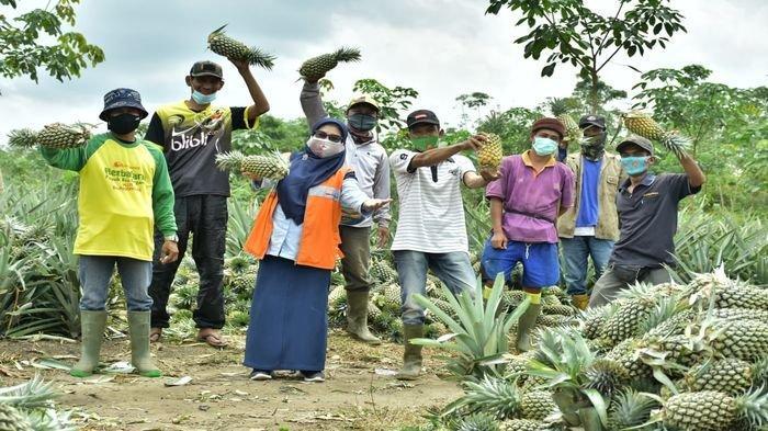 Sempat Gagal Berkali-Kali, Petani Nanas di Muaraenim Ini Bangkit: Kini Siap Berkirim ke Pulau Jawa