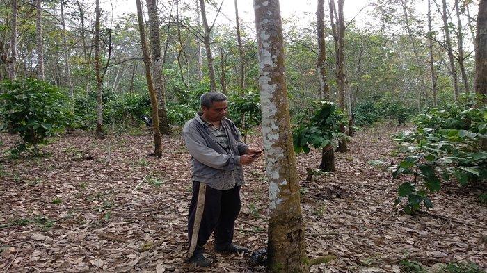 Petani Karet di Linggau Terkejut Kalau Harga Karet Tembus 10 Ribu, Tahunya 7000 Sudah Paling Tinggi