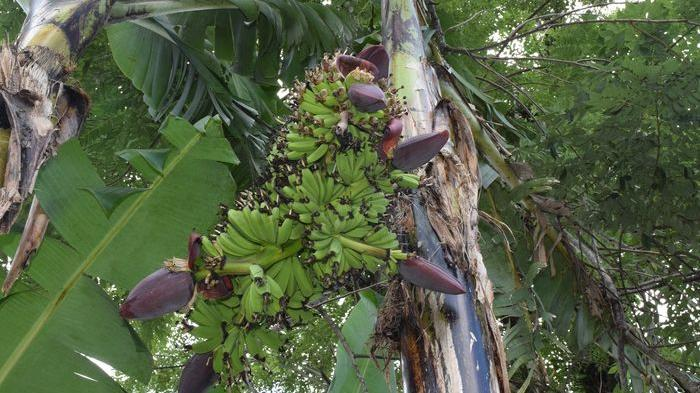 JENIS-jenis Buah Pisang Paling Unik di Dunia yang Ada di Indonesia, No 1 Panjangnya Capai 2 Meter
