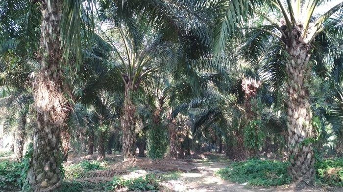 10.800 Hektare Kebun Sawit Petani Eks Plasma Target Peremajaan Pemkab Muaraenim