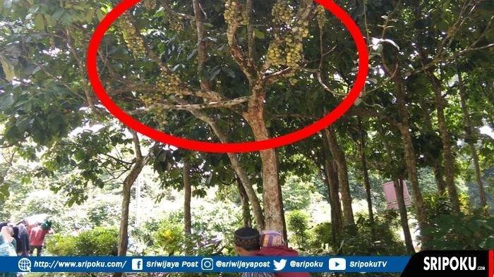 Pohon Duku Berusia Ratusan Tahun di Desa Singapura OKU Kembali Berbuah, Sebagian Sudah Menguning