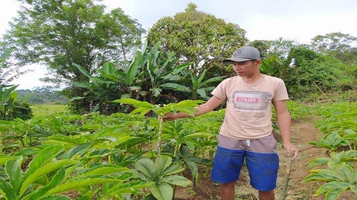 Warga Lahat Mulai Coba Tanam Porang, 1 Hektar Bisa Panen 40 Ton Untung Ratusan Juta, Mudah Dirawat