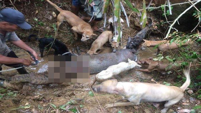 Bangkai Babi Bergelimpangan di Desa Tanjung Kupang Baru Empat Lawang Diduga ASF, Petani Sumringah