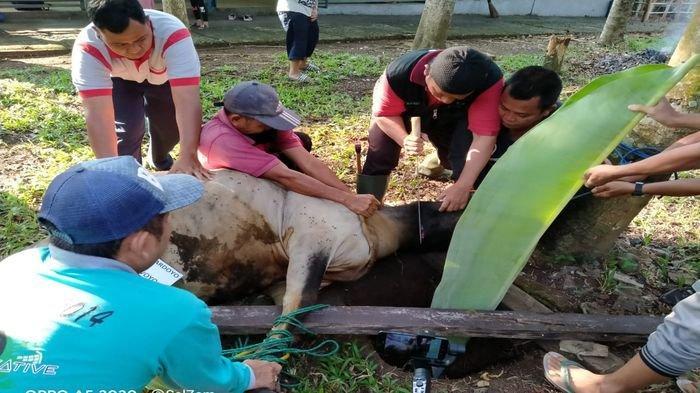 SMA Bukit Asam Tanjung Enim Potong 3 Ekor Sapi Kurban, Sumbangan Guru dan Para Murid