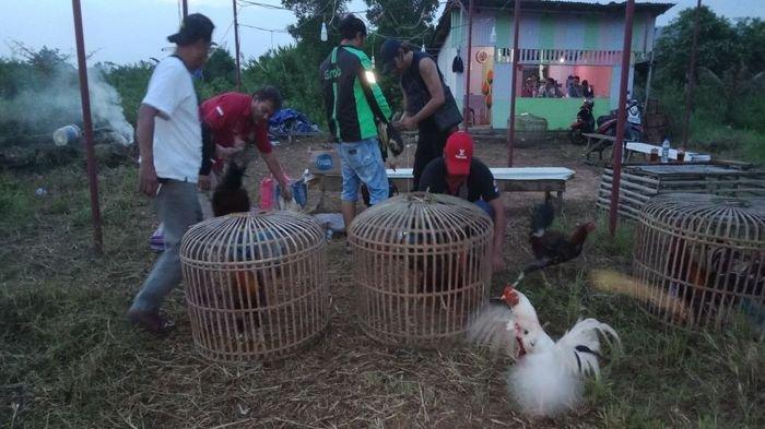 Grebek Arena Judi Sabung Ayam di Sako Palembang, Ini Temuan Petugas Polsek Sako