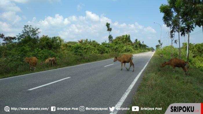 Para Pengendara Diimbau Hati-hati, Banyak Hewan Kaki 4 Berkeliaran di Jalan Lintas Sumatera Muratara
