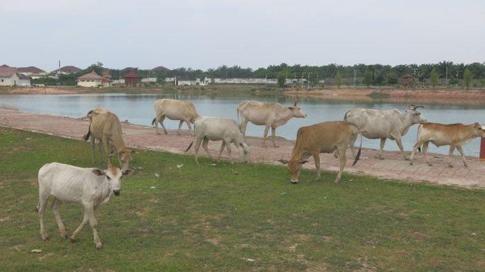 Danau Teluk Seruo OI  Elok Dipandang  Meski Sempat Diramaikan Kawanan Sapi yang Datang Bertandang