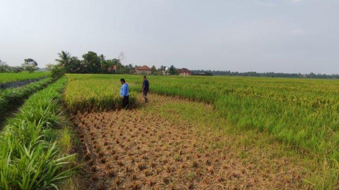 TIKUS Gerogoti Bagian Tengah Sawah, Petani di Desa Ini Kebingungan, 'Terpaksa Kami Tebas Semua'