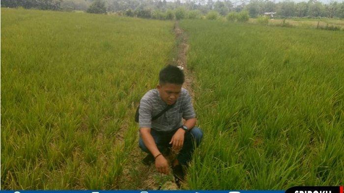 Kemarau, Puluhan Hektar Sawah di Pagaralam Gagal Panen