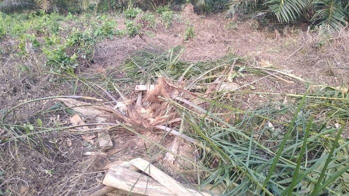 BREAKING NEWS: Gajah Ngamuk Obrak-abrik Kebun Kelapa Sawit Warga di Kabupaten Muratara Sumsel