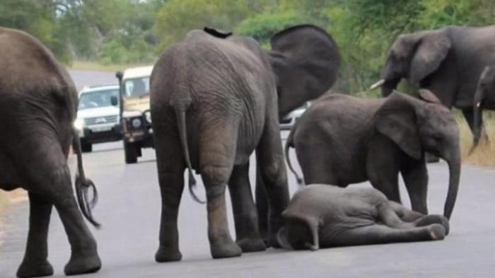 Pengendara Mobil Kaget Kawanan Gajah Liar Melintas di jalanan PALI