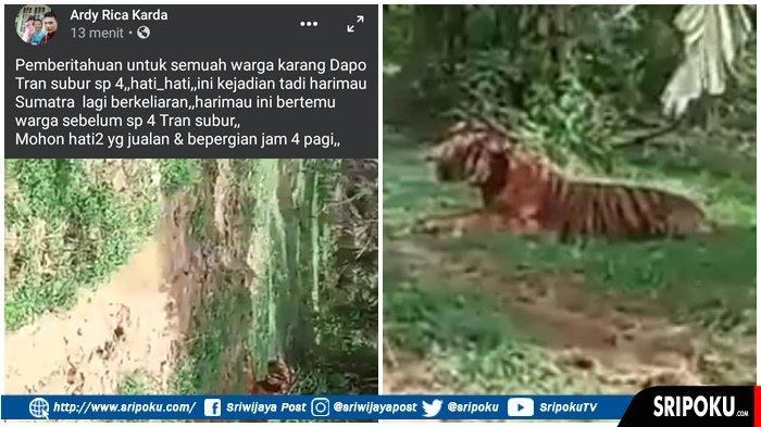 BEREDAR Video Harimau Berkeliaran di Kebun Sawit, Kapolres Muratara : Hati-hati Bisa Kena Dipenjara
