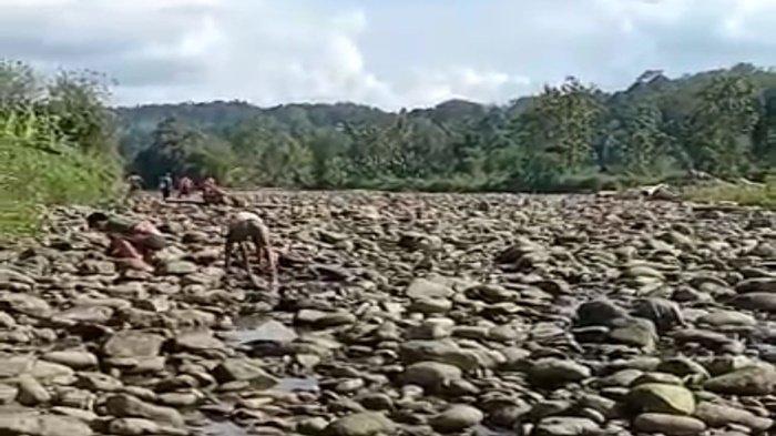 Heboh, Air di Sungai Selabung Tadinya Deras Tiba-tiba Kering, Banyak Ikan Terdampar