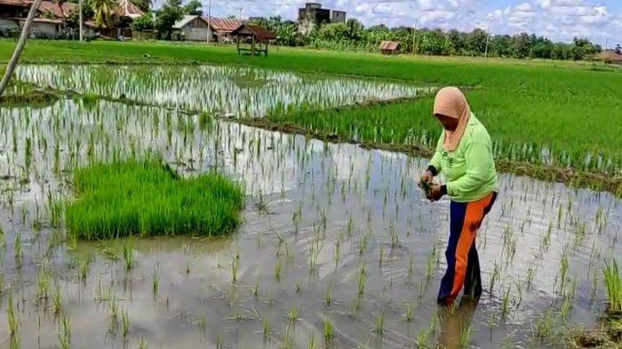 Untung Sekarang Musim Hujan, Petani Berharap Irigasi di Tanjung Payang Diperbaiki Sebelum Kemarau