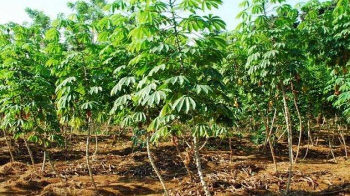 Ini Tanaman Beracun Paling Mematikan di Dunia, Tumbuh di Indonesia, Awas Keliru No. 8 Dikira Sayur!