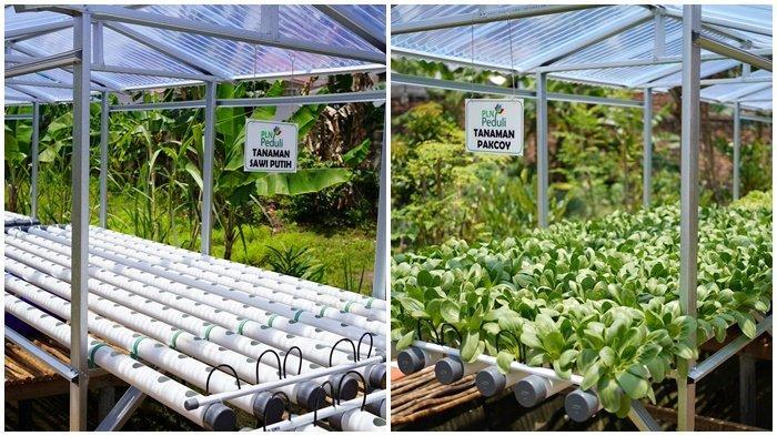 Tanama Sawi Putih kiri, tanaman pancoy kanan, budidaya hidroponik ini yang di kelolah oleh kelompok tani bersama alam hijau sako baru yang sukses atas berkat bantuan dari PT PLN melalui Unit Pelaksana Pengatur Distribusi (UP2D) Sumatera Selatan Jambi dan Bengkulu (S2JB), di Komplek Alam Sako Baru No 02 RT 009 RW 004 Kelurahan Sako Baru Kecamatan Sako Palembang, Rabu (22/9/2021) lalu.