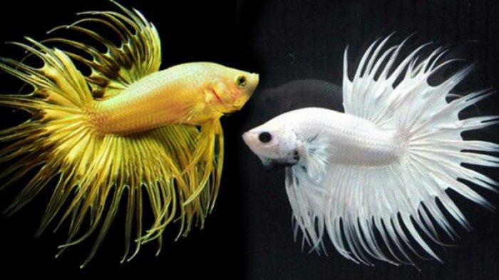 Selain Ikan Cupang, Jenis Ikan Hias Ini Harga Jualnya Bisa Capai Puluhan Juta, ada Ikan Gabus