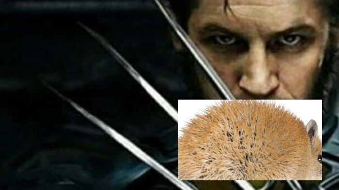 Mirip Wolverine di Film X MEN Spesies Ini Mutasi Tubuh Tanpa Bekas Luka, Harapan Dunia Penelitian