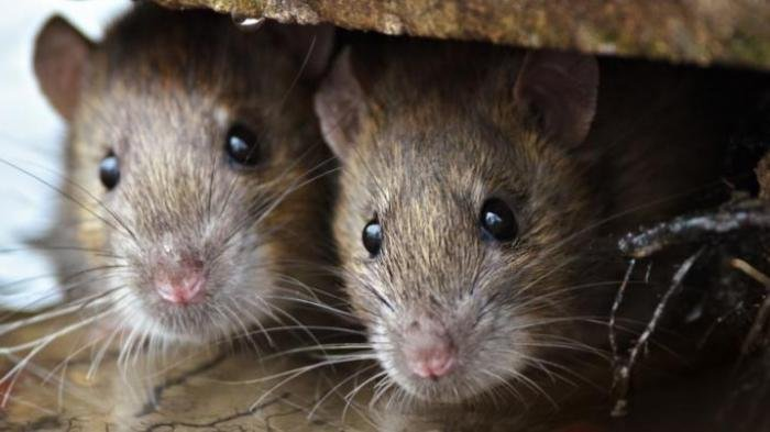 Cara Ampuh Usir Tikus di Rumah, Cuma Gunakan 5 Bahan Dapur Ini Dijamin Tikus Kabur Permanen