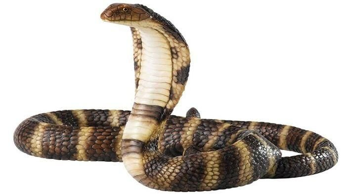 Warga Desa Bintaran Bongkar Sarang Kobra, Ular Jadi Lebih Ganas Serang Manusia
