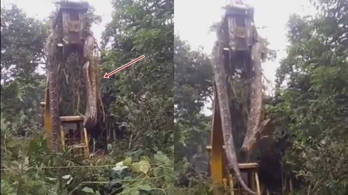 Detik-Detik Evakuasi Ular Piton Raksasa, Lokasi Disebut-sebut di Hutan Kalimantan