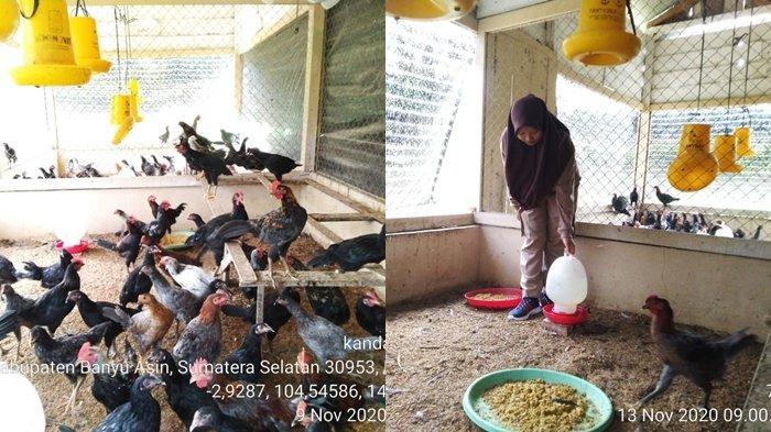 PWMP ATU SMK PP Negeri Sembawa Raup Untung Lumayan dari Ayam Kampung