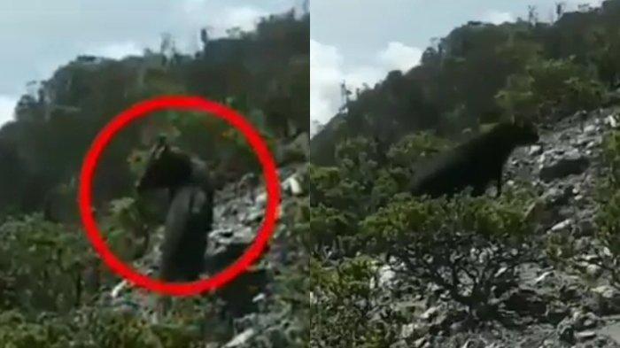 Penampakan Hewan Langka Bertanduk Besar Berlarian di Hutan Kayu Panjang Umur Gunung Dempo