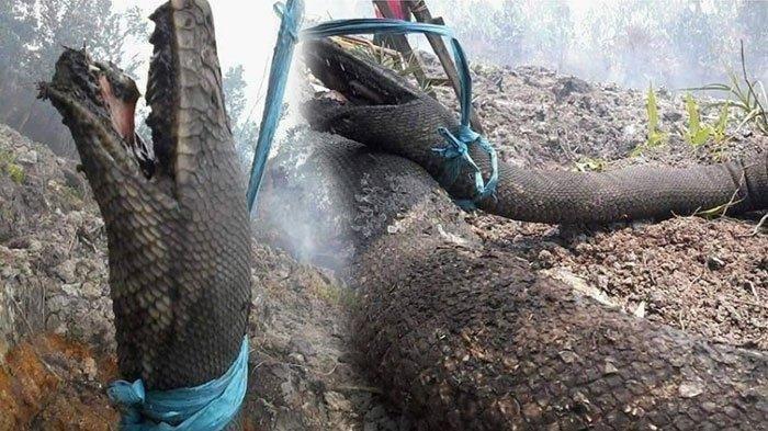 5 Penemuan Ular Raksasa di Indonesia, Ada yang Terpanjang 40 Meter Hingga Mati dalam Keadaan Gosong