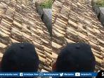 2-babi-di-atap-rumah.jpg